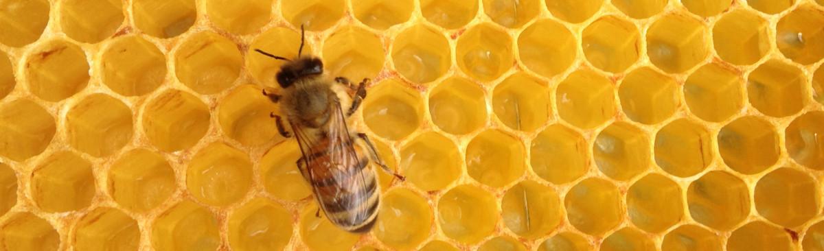 Bienenwabe der Imkerei MÄDELFLEIß